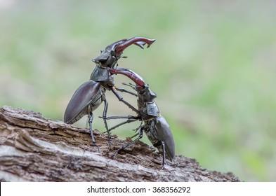 Stag beetle fight (Lucanus cervus)