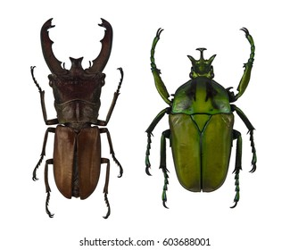 Stag beetle and green Flower chafer isolated on white background,