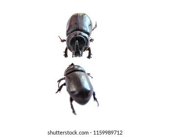 Stag Beetle insects form the order Coleoptera ,selective focus with white isolated background