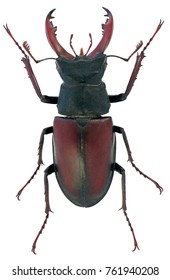 Stag beetle Lucanus cervus family Lucanidae male with sma antlers