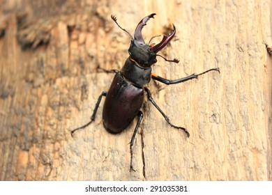 Stag Beetle, Lucanus Cervus, Insect, Zoology, Bug