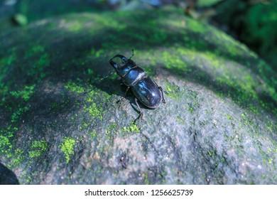 Stag beetle on the lakeside of Yangmingshan Lake in Taipei, Taiwan