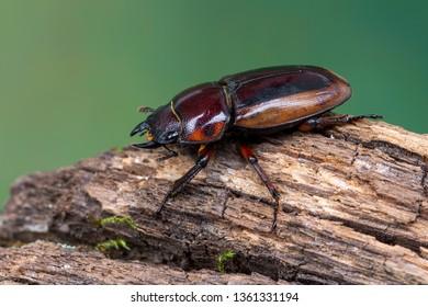 stag beetle - Prosopocoilus lateralis