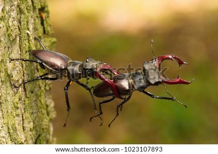 Stag beetles Lucanus cervus