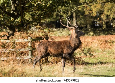 Stag at Bradgate Park. Soft background, sunny autumn day,nice shadows, large stags alone.