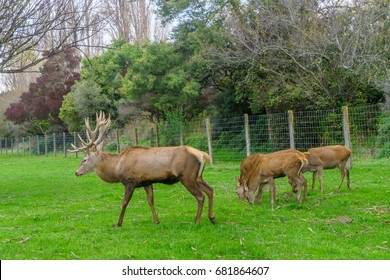 Stag and Doe's