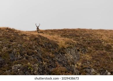 Stag Facing Camera in Scottish Highlands