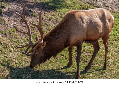 A stag grazing in a field