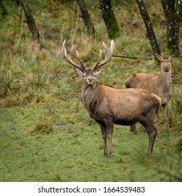 Stag keeping watch in the forest