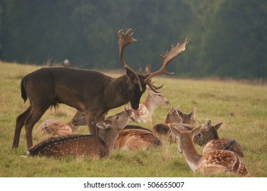 Stag kissing a doe