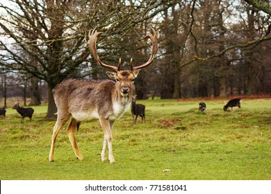 Stag at Knowle Park Sevenoaks Kent