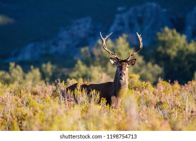Stag male among the vegetation. Cervus elaphus. Deer.