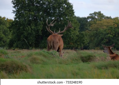 stag mating