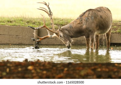 A stag Milu Deer, also known as Pére David's (Elaphurus davidianus) standing in water. It is digging up the mud in the lake with its antlers and then tossing it over itself.