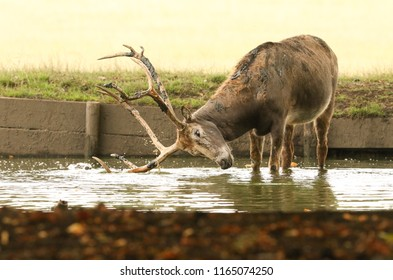 A stag Milu Deer, also known as Pére David's (Elaphurus davidianus) standing in water. It is digging up the mud in the lake with their antlers and then tossing it over itself.