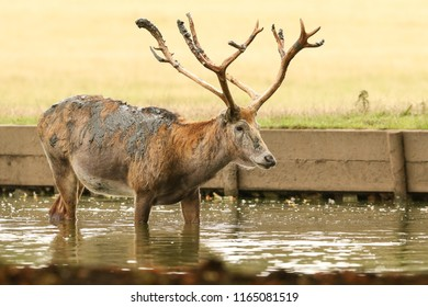 A stag Milu Deer, also known as Pére David's (Elaphurus davidianus) standing in water. It has been digging up the mud in the lake with its antlers and then tossing it over itself.