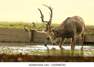 A stag Milu Deer, also known as Pére David's (Elaphurus davidianus) standing in water. It is fighting with a branch in the water that it dug out of the mud that it was putting over itself .