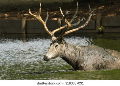A stag Milu Deer, also known as Pére David's (Elaphurus davidianus) walking across a lake. It has been digging up the mud in the lake with its antlers and tossing it over itself.