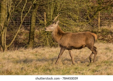 Stag on the move