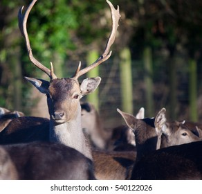 stag paying attention to potentional threats to his herd