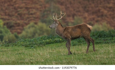 Stag red deer in field in Scotland, UK