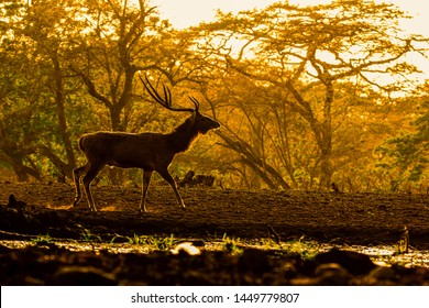 Stag( Rusa timorensis ) silhouette in Baluran forest