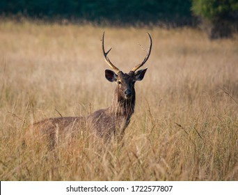 stag sambar deer in wild