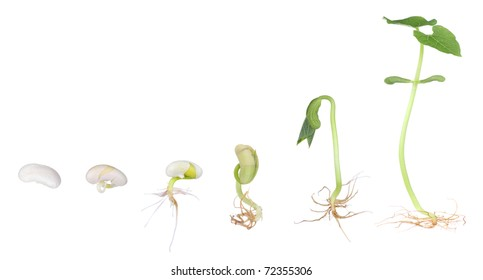 Stages of a bean plant growing from a seed to a seedling isolated on white