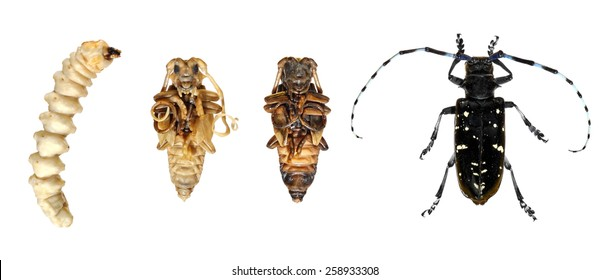 Seems excellent Asian longhorn beetle picture are