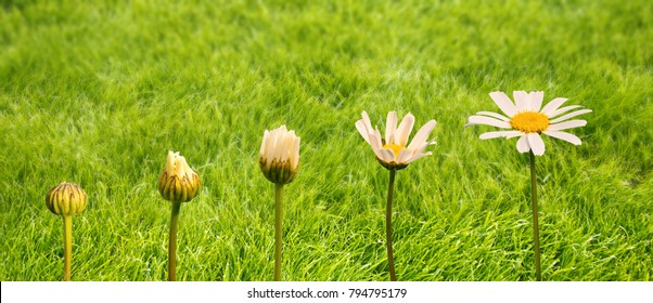 Stages of growth and flowering of a daisy, green grass background, life and transformation concept