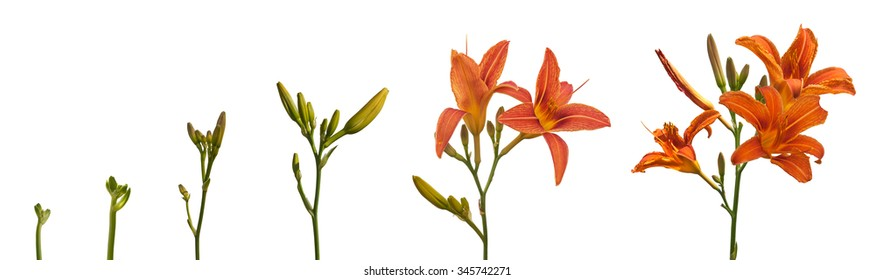 Stages of growth and flowering orange daylily on a white background isolation