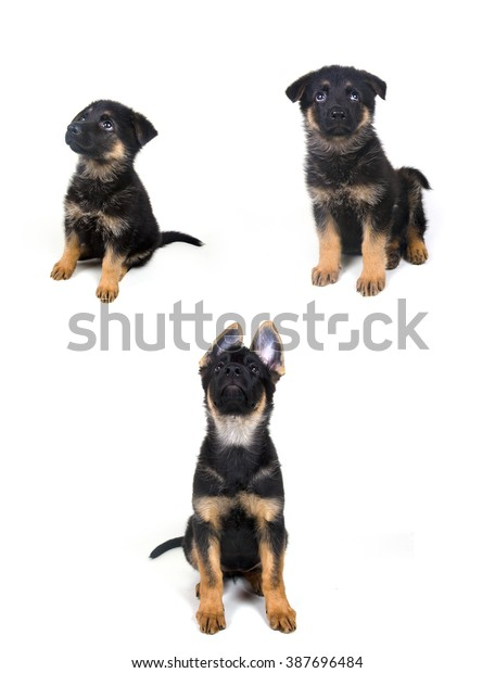 Stages of growth of a German shepherd puppy (ages of one month, two months and three months)