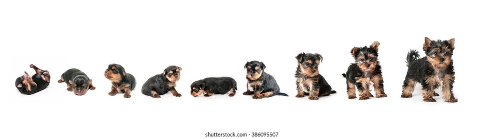 Stages of growth puppy yorkshire terrier