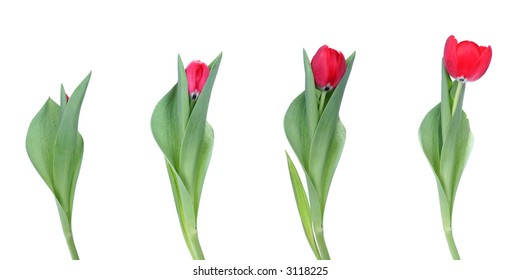 Stages of growth - tulips on white background