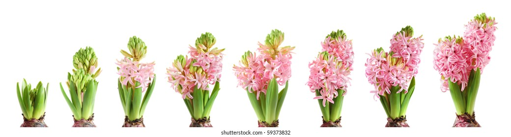 Stages of hyacinth growing and blooming