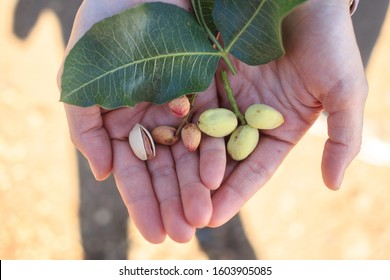 stages of natural pistachio seed development in hands