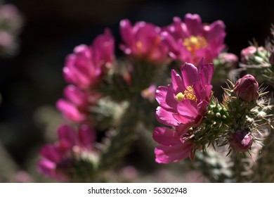 Staghorn Cholla cactus (Cylindropuntia versicolor), with many flowers blooming