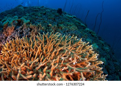 staghorn coral grows near the surface of a coral reef in Losin, Thailand