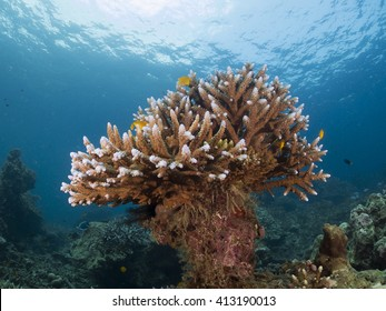 500 staghorn coral pictures royalty free images stock photos