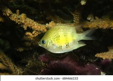 Staghorn Damselfish (Amblyglyphidodon curacao)