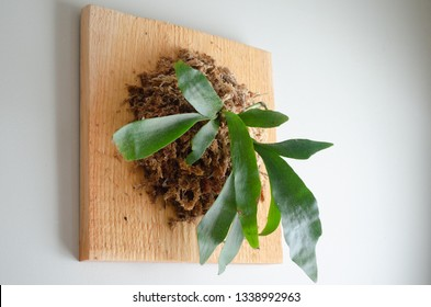 Staghorn fern pup mounted on a wood block on a white wall with long fiber sphagnum moss nails and string for home decor.