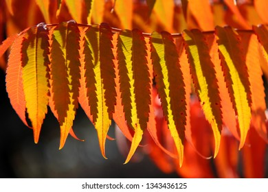 Staghorn sumac (Rhus typhina) in autumn colors. Colorful leaves of Staghorn sumac in sunlight on blurred background with bokeh.