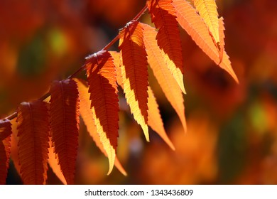 Staghorn sumac (Rhus typhina) in autumn colors. Colorful leaves of Staghorn sumac in sunlight on blurred background.