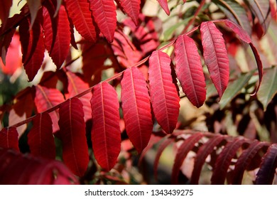 Staghorn sumac (Rhus typhina) in autumn colors. Red leaves of Staghorn sumac in sunlight.