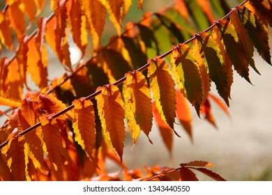 Staghorn sumac (Rhus typhina) in autumn colors. Colorful leaves of Staghorn sumac in sunlight.