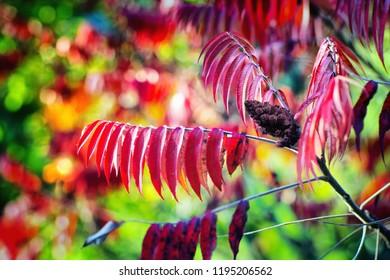 Staghorn sumac or velvet sumac (Rhus typhina) in autumn