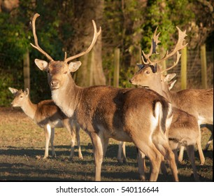 stags lookng at the camara after hearing the click