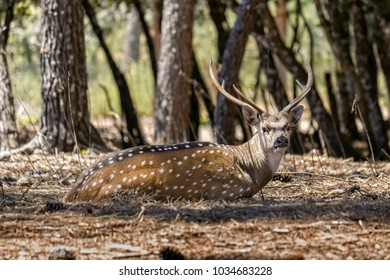 Stained deer with big horns lying in forest in sunny day.