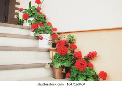 Staircase decorated with bright geraniums flowers in pots. Red cranesbills in pots on step of house, selective focus