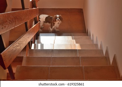 Staircase under sunlight with a charming dog (Cavalier King Charles Spaniel) downstairs